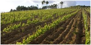 Vignes - Terras do Demo - Coopérative Tavora - Vins du Portugal